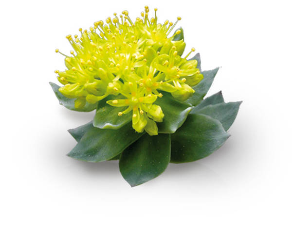 Rhodiola griffonia